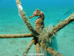 This was a sea horse swiming over a sandy area and he sto... by Jorge Mendez 